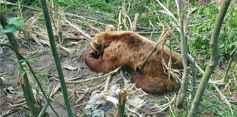 Ο ΑΡΚΤΟΥΡΟΣ έσωσε αρκούδα από παράνομη παγίδα για αγριογούρουνα