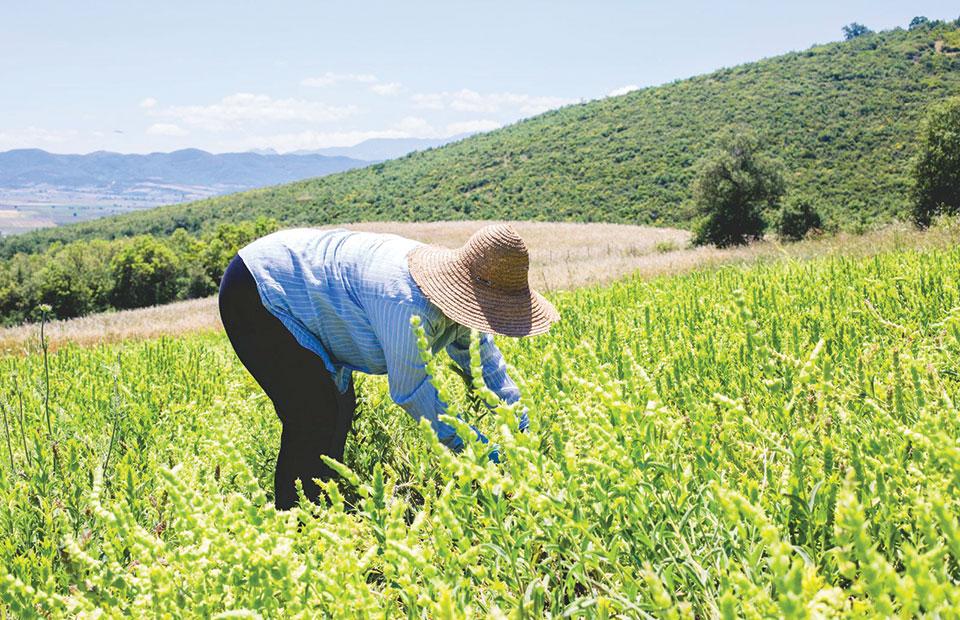 Σε απόγνωση οι καλλιεργητές λεβάντας στα Γρεβενά