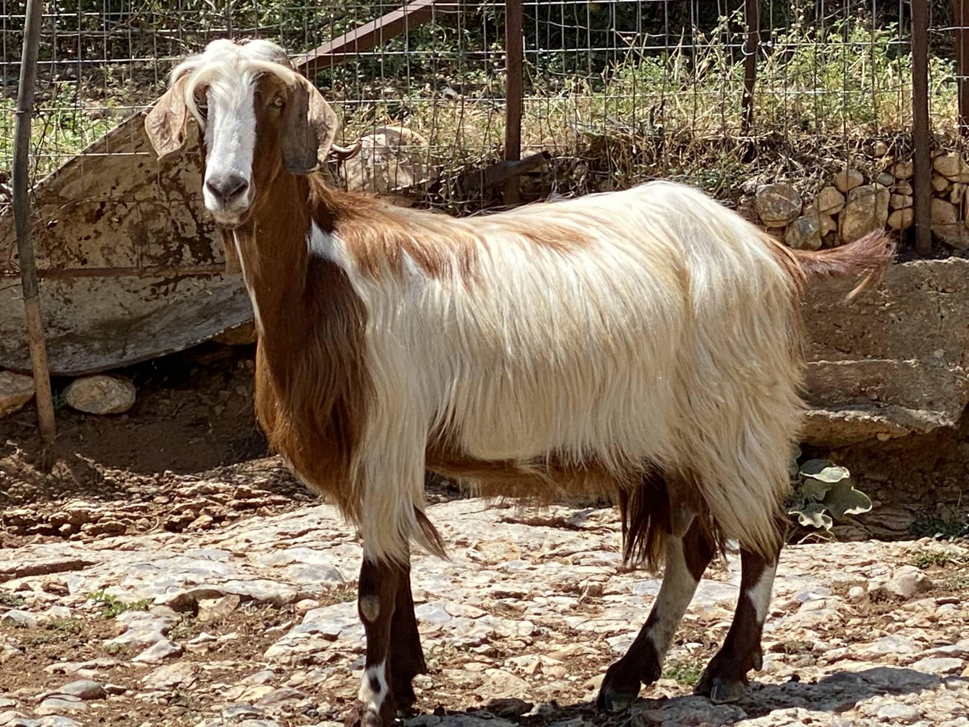Τοζέικη Αίγα. Η γίδα της Δυτικής Μακεδονίας *Του κτηνιάτρου, Μανώλη Καγιαμπάκη