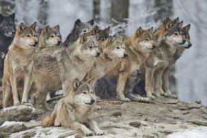 Διπλή θανατηφόρα επίθεση λύκων σε κυνηγόσκυλα στο Βέρμιο