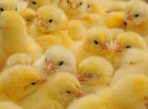 Τέλος στη μαζική σφαγή αρσενικών νεοσσών κοτόπουλων
