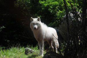 Καταγγελία του Αρκτούρου για την θανάτωση λύκου