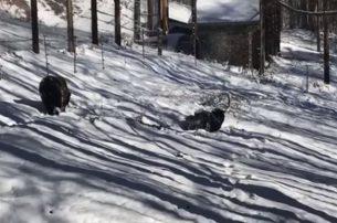 Παιχνίδια στο χιόνι για τις αρκούδες του Αρκτούρου