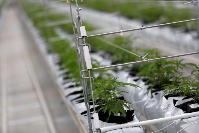 Φαρμακευτική κάνναβη: Αλλαγές στο νομοθετικό πλαίσιο παραγωγής και εξαγωγής του προϊόντος