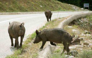 ΦΕΚ : Κυνήγι αγριόχοιρου όλο το χρόνο