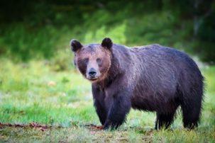 Η απίστευτη ιστορία της αρκούδας που πέθανε από υπερβολική δόση κοκαΐνης