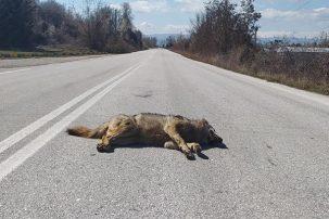 Νεκρή λύκαινα σε τροχαίο στην Κορησό (Φωτογραφία)