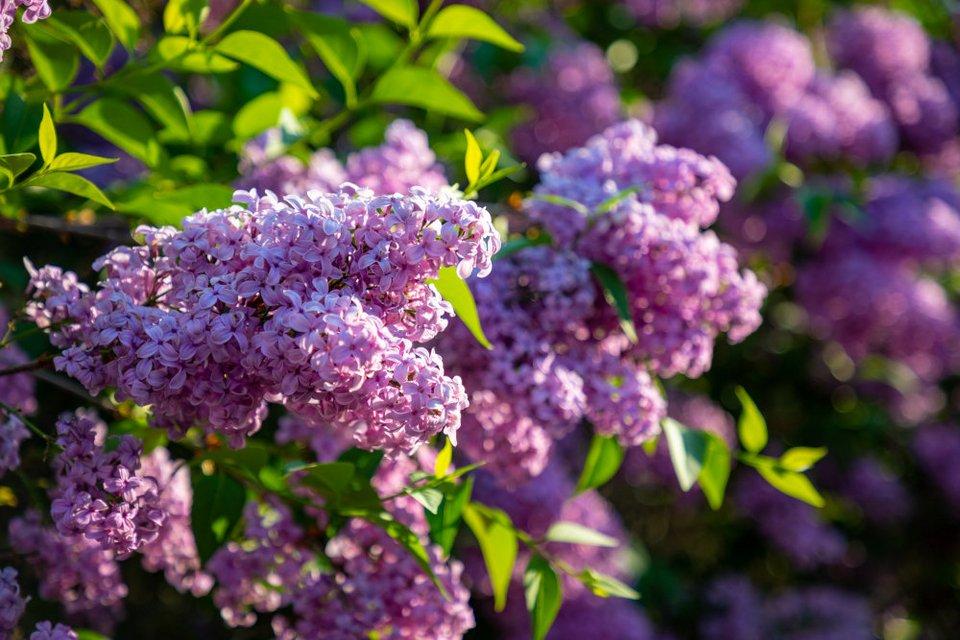 Τα φυτά του Πάσχα: Από την πασχαλιά, στο «δέντρο του Ιούδα»