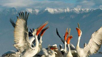Νεκροί 23 πελεκάνοι στην λίμνη της Καστοριάς