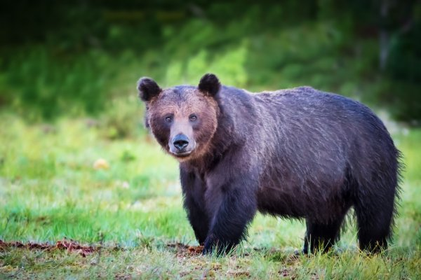 Ένας ανέμελος αρκούδος στα λιβάδια του Γράμμου