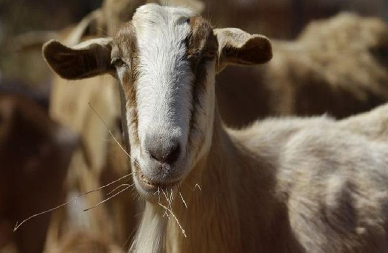 Παραφυματίωση: Όσα πρέπει να γνωρίζουν οι κτηνοτρόφοι