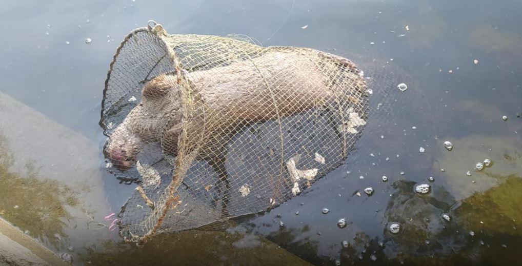 Καστοριά: Νεκρή βίδρα που παγιδεύτηκε σε δίχτυα