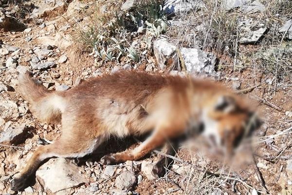 Νεκρή βρέθηκε αλεπού στην Μαυριώτισσα (Φωτογραφία)